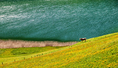 Freedom...ON EXPLORE 24 MAY 2016 (Alex Switzerland) Tags: primavera nature colors composition canon landscape eos freedom schweiz switzerland kuh cow spring suisse free peaceful explore svizzera mucca colori printemps vache uri frhling 6d freiheit libera seelisberg