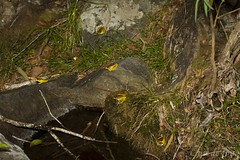On the town on a Friday night (Cameron de Jong) Tags: amphibian frog frogs litoria wilcoxi wilcoxii