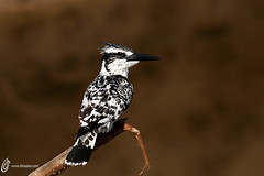 Pied kingfisher (fahadee) Tags: wild bird nature wildlife kingfisher pied sindh birdlife jati birdsofpakistan fahadee