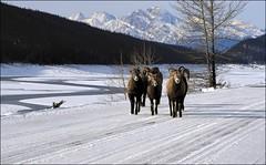 Bighorn Sheep (SomewhatNorth...) Tags: winter snow bighornsheep colinrange medicinelake malignelakeroad jaspernationalpark alberta canada somewhatnorth icc pentax digikamgimp kx
