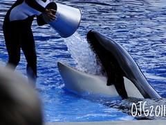 Ice Bucket (Nottarg) Tags: usa ice bucket florida orca seaworld killerwhale shamushow