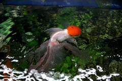 107 (Maryam J S) Tags: red fish aquarium redhead aquariumfish