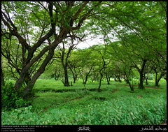 Dhofari Buttontrees, Anogeissus dhofarica, Woodland in Nashib, Salalah, Dhofar (Shanfari.net) Tags: wood trees plants plant tree green nature forest woodland season lumix flora raw natural panasonic button vegetation greenery lush habitat oman forests fz zufar rw2 habitats salalah sultanate sarb dhofar عمان khareef سلطنة خريف صلالة combretaceae dufar صلاله ظفار الخريف محافظة buttontree موسم dhufar governorate anogeissus dofar fz38 dhofari fz35 dmcfz35 الصرب dhofarica anogeissusdhofarica صرب dhofaricus anogeissusdhofaricus