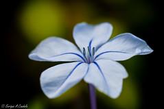 PRETTY! (hunter of moments) Tags: naturaleza flower color macro art blanco luz nature beauty garden nikon purple flor jardin lila simple diseño belleza petalos estambre d5000
