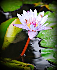 ~~Tropical Waterlily/Oahu, Hawaii #2~~ (TravelsThruTheUniverse) Tags: waterlilies ponds tropicalplants tropicalflowers exoticgardens wow1 waterfeatures zengardens exoticflowers summergardens tropicalgardens tropicalfoliage waterinthegarden subtropicalgardens tropicallandscapes subtropicallandscapes flickrstruereflection1