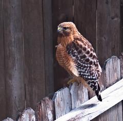 Red Shouldered Hawk (tord75) Tags: bird texas hawk natur houston clearlake fugl hauk redshoulderedhawk