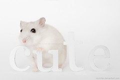 cute Frl. Edelweich (Oliver Pietern) Tags: white macro cute animal studio fur nose rodent eyes little dwarf text fluffy whiskers kawaii hamster typo cutehamster hoschie edelweich dzhungarian