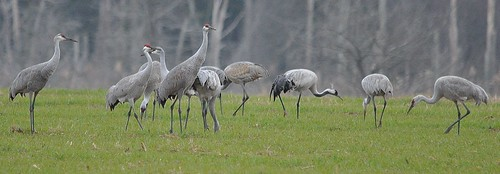 Sandhill Cranes (with one Common Crane) at Husted's Landing, Cumberland County