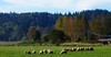 "Sheep in Duvall • <a style=""font-size:0.8em;"" href=""http://www.flickr.com/photos/71900476@N08/6515025207/"" target=""_blank"">View on Flickr</a>"