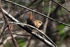Winter wren (Bird Aficionado Stan) Tags: atlanta bird wren winterwren chattahoocheenationalrecreationarea cochranshoals cochranshoalsunit