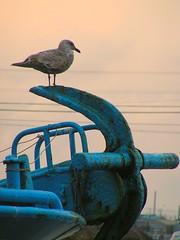 2011.12.16 A Seagull on the Anchor (eriko_jpn) Tags: bird river ship harbour gull anchor seabird herringgull flickraward