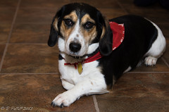 My Boy..... (rpimages.com) Tags: dog pet beagle roscoe ronpettitt