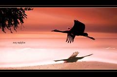 Water Bird (Roy Mildor CEO of RM ~Art of poses ~) Tags: mygearandme mygearandmepremium mygearandmebronze mygearandmesilver mygearandmegold mygearandmeplatinum mygearandmediamond peregrino27life aboveandbeyondlevel1 aboveandbeyondlevel2