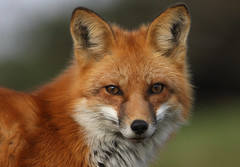 Red Fox (Hard-Rain) Tags: nature mammal illinois eyes dusk hiking wildlife fox stare mammalia redfox vulpesvulpes carnivora canidae vulpes vulpini
