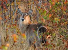 Female Waterbuk, 2 (Big Mico) Tags: africa park sunset animal female mammal alba favourite animali animale kruger savanna waterbuck sudafrica savana femmina mammiferi southafric