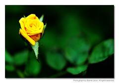 311346 (Barnie Leow) Tags: flowers macro nature flora singapore barnie photonx s5pro barnieleow
