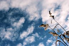 la tte dans les nuages (mamuangsuk) Tags: 20d clouds eos pascal nuages roseaux homme 1740l roseau pensant frenchphilosopher latetedanslesnuages blaisepascal bleuciel mamuangsuk