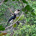 Hornbill on Ko Phayam