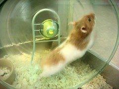 Not nocturnal :) (Su--May) Tags: pictures took syrianhamsters sumay petsathome newmalden80busheyroadraynesparksw200jq greatsmallpets