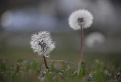 mangled. (kaitonthekeys) Tags: grass lens dandelion seeds telephoto makeawish