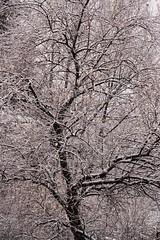 (Florestano.) Tags: trees winter snow ice nature alberi natura neve inverno ghiaccio