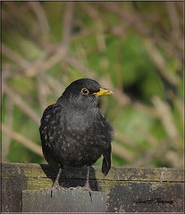 BLACKBIRD ADULT MALE (Shaun's Nature and Wildlife Images....) Tags: wild birds shaund