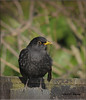 BLACKBIRD ADULT MALE (Shaun's Photographic World.) Tags: wild birds shaund