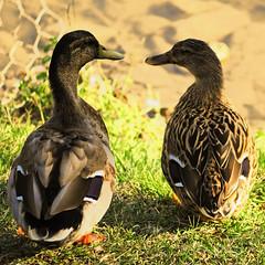 Good morning! (Porfidax) Tags: morning blue friends red brown color green eye yellow happy duck nikon awakening sweet bokeh good sigma stare mou 70300 d5000 nikonclubit