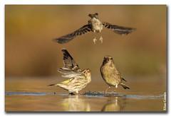 Disputa (II) (Elas Gomis) Tags: birds canon aves alicante carduelischloris serinusserinus eliasgomis