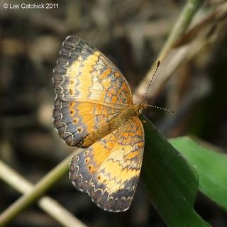 Butterfly (Mazia amazonica - female)