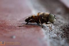 varios-cuenca-dicene-281 (gustavo@morejon.ec) Tags: insect fly big ecuador eyes wildlife bee ojos vida grandes silvestre mosca cuenca mimetic syrphidae insecto diptera azuay