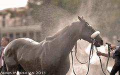 Winchester cools off (gutsygelding) Tags: horse race one 1 saratoga grade racing g1 horseracing winchester spa thoroughbred equine horserace gradeone sworddancer nyra thoroughbredracing corneliovelasquez oldspa adammooshian christopheclemente bertramfirestone