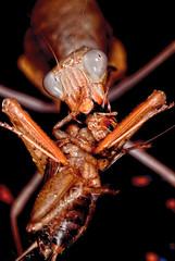 Hungry monster (Carlos Del Pico (Carlitus91)) Tags: blue monster mantis flash alien cricket mantid sphodromantis