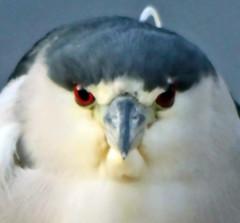 Face to Face Moment - Day 6 / 365 Moments in 2012 (Adventures of KM&G-Morris) Tags: bird nature facetoface avian blackcrownednightheron galvestontexas eyetoeye
