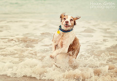 Tilly splashing around (Helen Green Photography) Tags: dog beach water word brittany waves your splashing owp