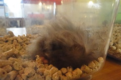 'fluff and balls' Elvis:) (springhawk) Tags: show pet animal rodent prague hamster keek