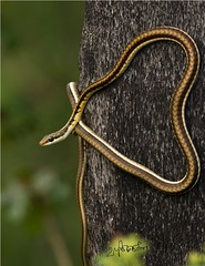 Snake on a tree (thiruzoovet) Tags: tree nature fauna canon reptile snake predator slither vandalur canon100400mm bronzeback snakesofindia faunaofindia indiansnakes indianreptiles reptilesofindia rebelt2i