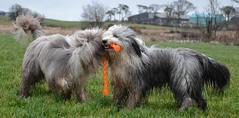 Not for long (babskenara) Tags: dog field fun happy play mud dirt beardie beardedcollie share bargemon barkenbear
