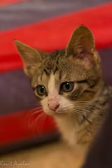 Kakyus (mad artichoke) Tags: pet animal cat canon eos 50mm kitten 60d catnipaddicts
