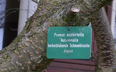 herbstblühende Schneekirsche, NGID1920006335 (naturgucker.de) Tags: deutschland prunussubhirtella badenwrttemberg naturguckerde ctorstenhunger waiblingentalaue ngid1920006335