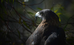 Tasmanian Wedge Tailed Eagle (Glendamaree) Tags: bird nature birds eagle tasmania wedgetailedeagle abcopen:project=upclose