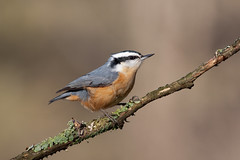 Red-Breasted Nuthatch (iSteiney) Tags: ontario canada bird canon wildlife birding dslr nuthatch canoneos5dmkll isaacsteiner canonef400mmf56usml