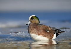 Wigeon Drake on Ice (Tom Reichner) Tags: winter wild dog lake bird ice nature water canon river lens outdoors duck washington pond labrador blind wildlife hunting duckling retriever telephoto columbiariver icefloes pacificnorthwest environment species diver shotgun drake waterfowl hen habitat hunt wetland gamebird decoy puddleduck brood americanwigeon wildfowl okanogan anasamericana baldpate divingduck supertelephoto wildlifephotography ducksunlimited noncaptive puddler methowriver springbreakup wingshooting 400mmf28is