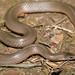 Western Earth Snake