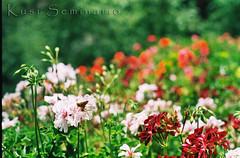 Clores y mariposa (Kusi Seminario) Tags: flowers flores film butterfly 50mm dof negative canonae1 mariposa negativo royo classiccamera clasica flowersarebeautiful mimamorflowers