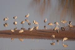 Hiwassee Refuge - Cranes1 (Joey Hinton) Tags: tennessee olympus 50200mm e30 sandhillcranes epl1 918mm hiwasseerefuge