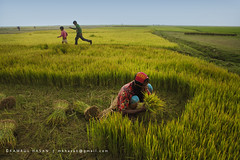 Farmland of Gold (Kamrul - Hasan) Tags: people boys children happy living play paddy farm farming running crop gathering farmer profession