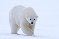 "Eisbär, Arctic National Wildlife Refuge, Alaska (7) • <a style=""font-size:0.8em;"" href=""http://www.flickr.com/photos/73418017@N07/6730317043/"" target=""_blank"">View on Flickr</a>"