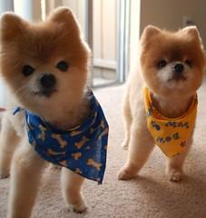 2 Curious Pups (Teddy n TJ Ruled the World!) Tags: teddy cutedogs tj pomeranians thecutestdogintheworld
