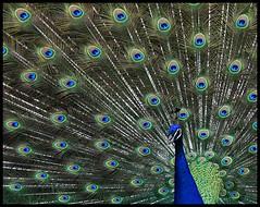 Peacock (*Jeff*) Tags: male animal zoo winnipeg peacock